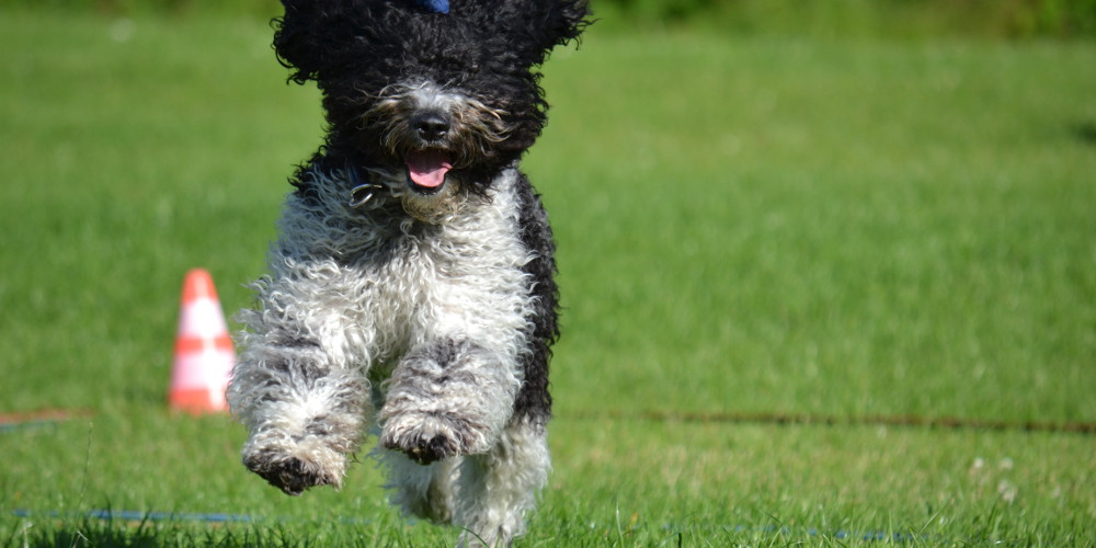 Dog Shows In Ringwood